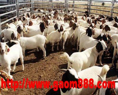 江苏波尔山羊养殖基地