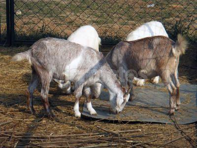 重庆波尔山羊繁育基地 重庆大型波尔山羊养殖场