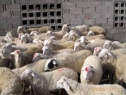 唐山波尔山羊养殖场
