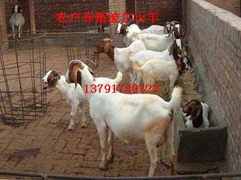 波尔山羊的配种及饲养