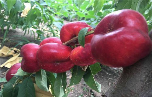 路北晚熟品种桃树苗一年结几次果