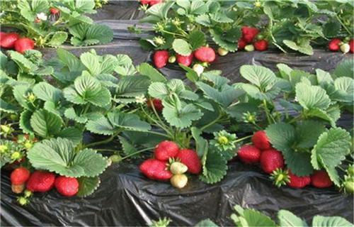 ?#20351;?#33609;莓苗苗圃成活率高价格低