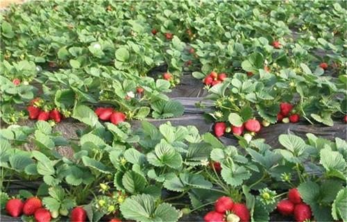 禹州���|大棚草莓苗基地可��地考察��合同