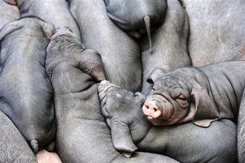 永州现在太湖母猪价格(黑母猪养殖)