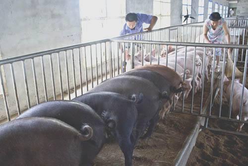 金华二元母猪价格(批发母猪)厂家报价