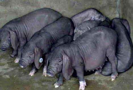 张家界纯种长白母猪价格(优质母本)