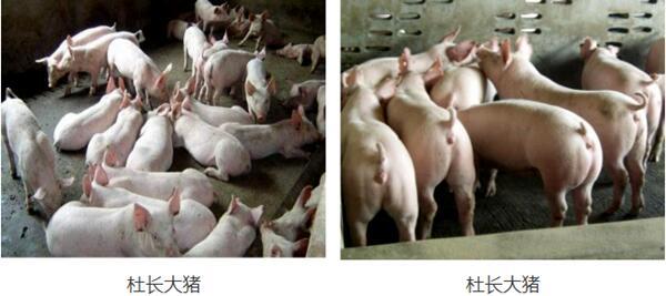 荆州现在太湖母猪价格(厂家报价)