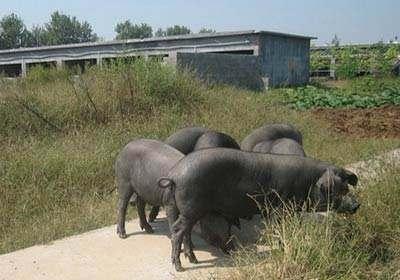百色养殖场(太湖母猪批发)(母猪养殖)