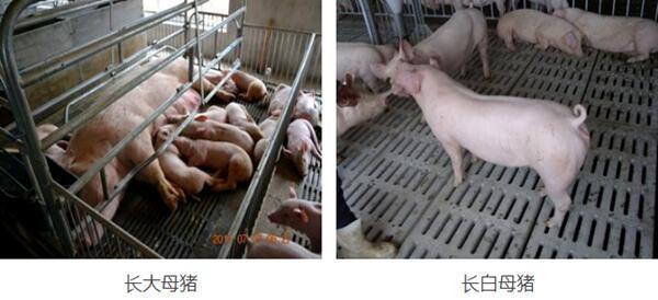 崇左纯种长白母猪价格(厂家报价)