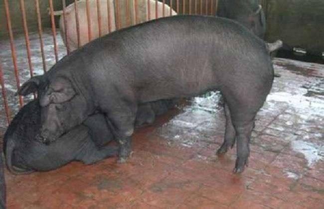 内蒙古长太母猪价格(出售)种猪场在线报价