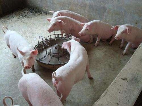 韶关长白母猪价格(优质母本)厂家报价