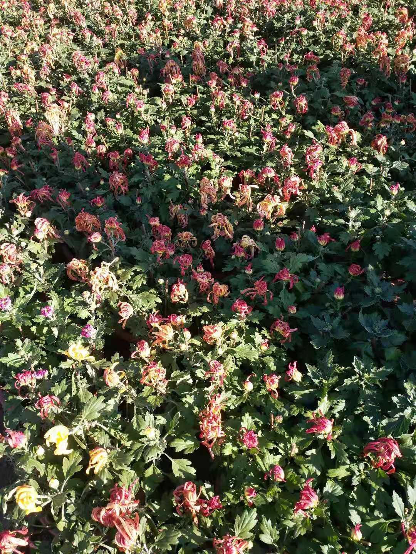 孝感品种菊花哪里有?