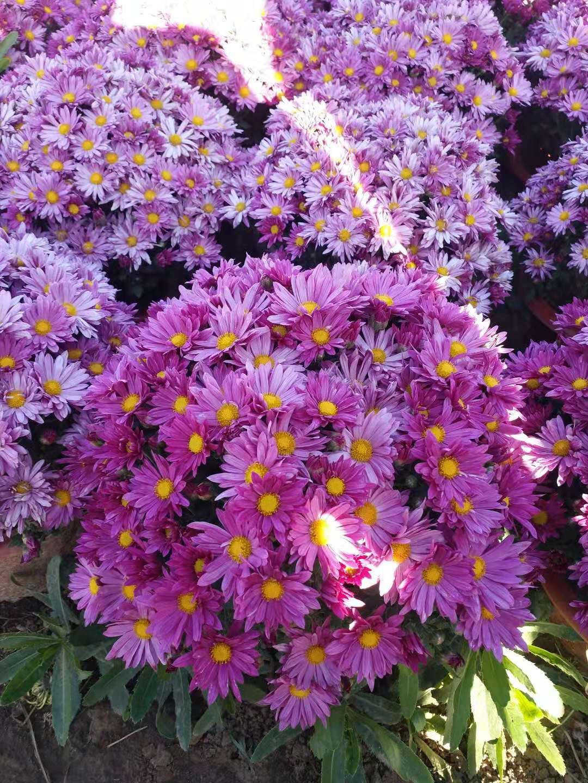 青海冬季室外草花哪里有批发的?