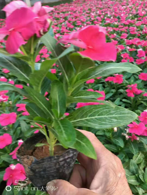 合肥雏菊种植基地