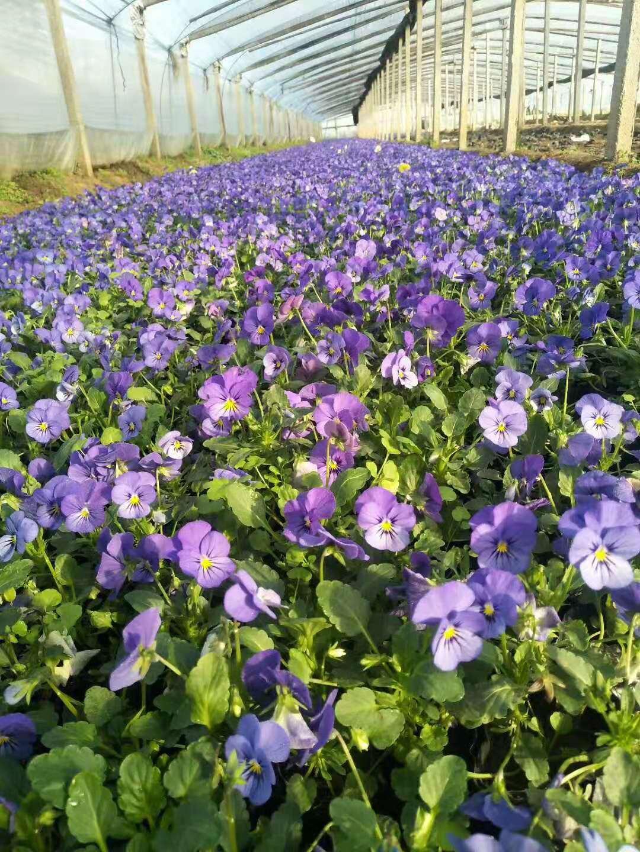 杭州造型菊花种植基地