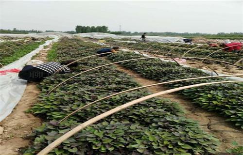 江蘇紫薯種苗加工廠
