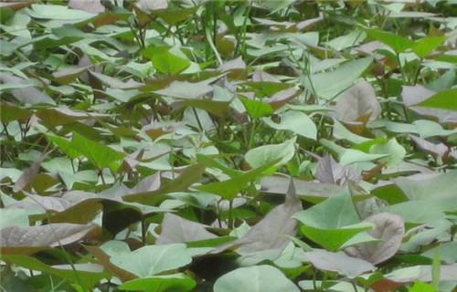南陽紫薯種種植基地
