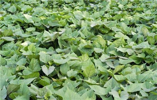 西寧紫薯種廠家