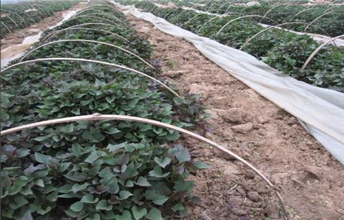安順脫毒紫薯苗性價比高