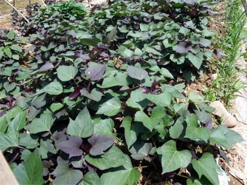 內蒙古紫紅薯苗多少錢一棵