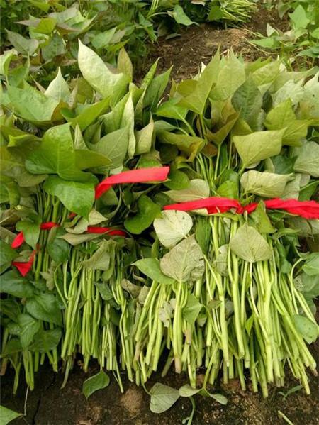 廣州脫毒紫薯苗銷售