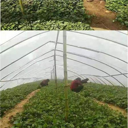 楚雄紫紅薯苗源頭廠家