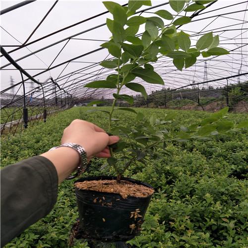 5年美登蓝莓苗