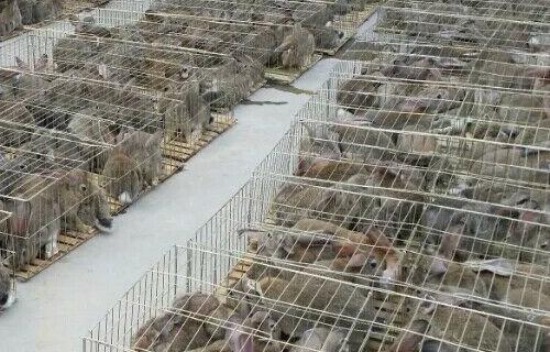 乌鲁木齐比利时肉兔养殖基地多少钱一只