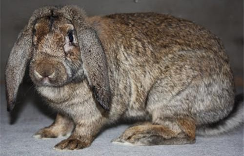 金昌比利时肉兔养殖利润高吗