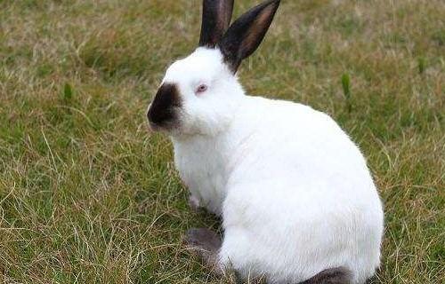海东比利时肉兔养殖基地多少钱一只