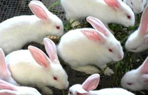 果洛比利时肉兔养殖利润高吗