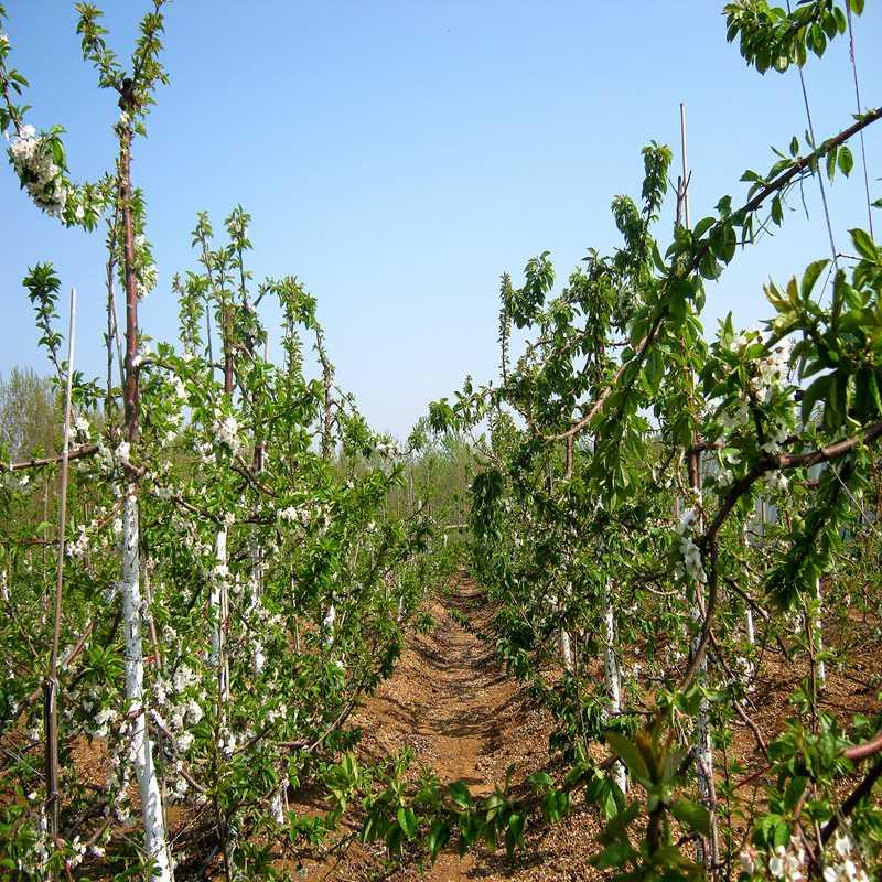 双流两年生龙冠樱桃苗厂家供应