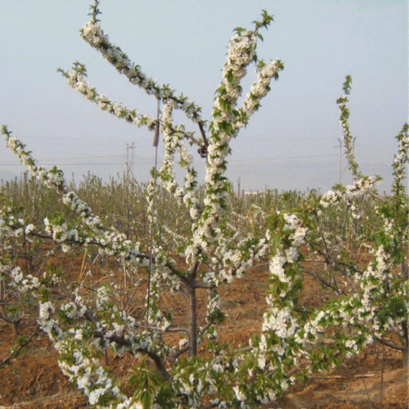 温江矮化樱桃树苗厂家