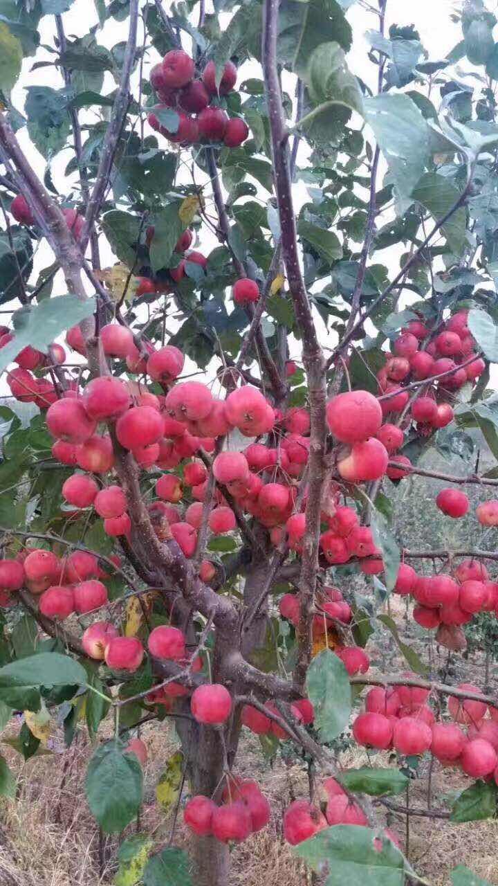 通城鲁丽苹果苗基地优质苗木