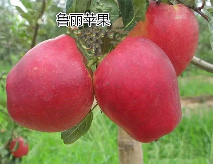 维纳斯黄金苹果苗价格湖南