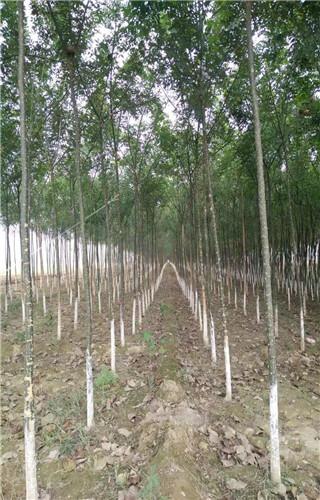 新疆杨风景林