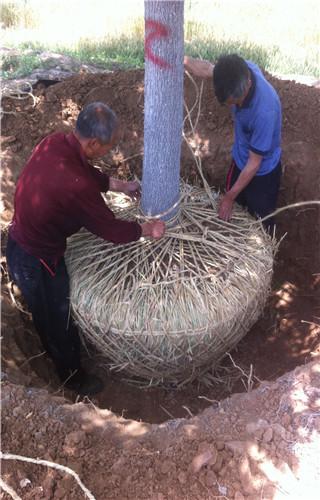 唐山垂柳30厘米国槐价格